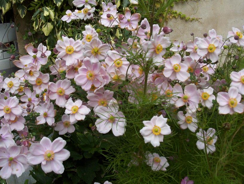 Nouvelle page 2 - Anemone du japon blanche ...