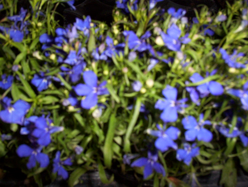 Pin lobelia crystal palace bleu on pinterest for Fleurs de jardin vivaces