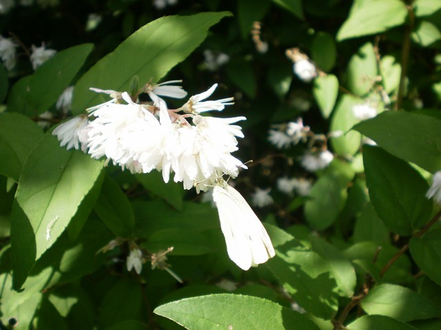 Arbres et arbustres - Arbuste fleurs blanches odorantes ...