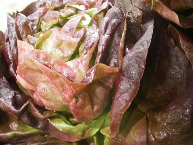 Salades - Salade d hiver variete ...