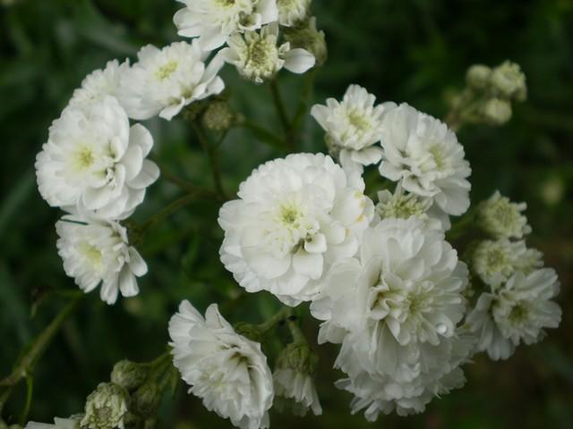 Fleurs blanches longues tiges - Fleur blanche longue tige ...