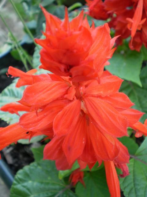 Sauge for Plante plumeau rouge